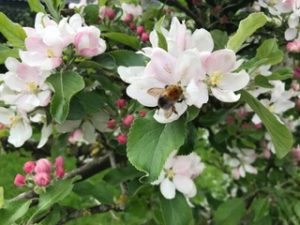 bees and blossom