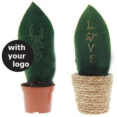 sanseveria 400 with your logo